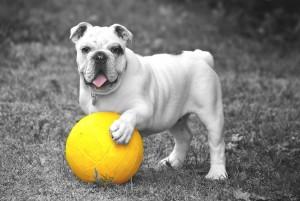 bulldog-601714_1920
